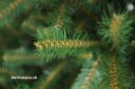 vianočný stromček smreky prírodné